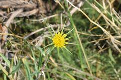 Blume des gelben lauchblättrigen Bocksbarts stockbild