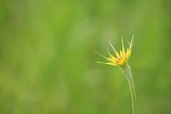 Blume des gelben Ziegenbarts Lizenzfreie Stockfotografie