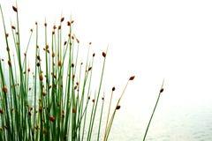 Blume des grünen Schilfs oder des Grases mit Wasser in See oder Sumpfgebiet in s lizenzfreie stockfotografie