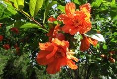 Blume des Granatapfels Lizenzfreies Stockfoto
