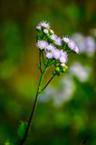 Blume des Grases im Getreidefeld Stockbild
