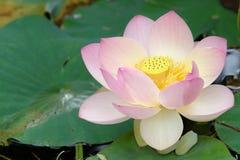 Blume des heiligen Lotos (nahe hohe) Stockfoto