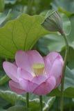 Blume des heiligen Lotos und seedhead Lizenzfreie Stockfotografie