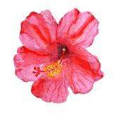 Blume des Hibiscus Lizenzfreie Stockfotos