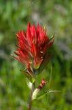 Blume des indischen Malerpinsels Lizenzfreies Stockfoto