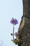 Blume des Kaiserinbaums, paulownia tomentosa Stockbild