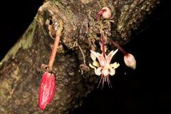 Blume des Kakaobaums Lizenzfreie Stockfotos