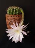 Blume des Kaktus   Stockbild
