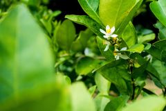 Blume des Kalkes Lizenzfreies Stockfoto