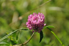 Blume des Klees stockbilder