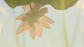 Blume des Maisbaums mit blauem Himmel stock footage