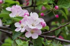 Blume des Pfirsiches Stockfoto