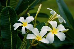 Blume des Plumeria (Frangipani) Lizenzfreie Stockfotografie