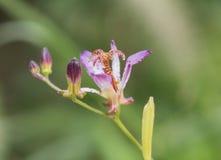Blume des purpurartigen Rotes Tricyrtis lizenzfreie stockbilder
