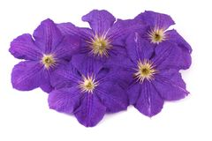 Blume des purpurroten Clematis Stockfoto