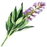 Blume des purpurroten Salbeis des Frühlinges oder blaues salvia lokalisiert, Aquarellillustration auf Weiß Lizenzfreie Stockfotografie
