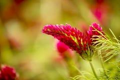 Blume des roten Klees auf dem grünen Gebiet Lizenzfreie Stockbilder