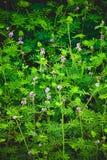 Blume des schüchternen schläfrigen Planeten stockfotografie
