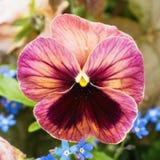Blume des Stiefmütterchens Lizenzfreie Stockfotografie