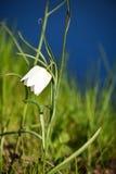 Blume des weißen Fritillary gegen grünen und blauen Hintergrund Stockbild