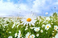Blume des weißen Gänseblümchens über blauem Himmel Lizenzfreie Stockbilder