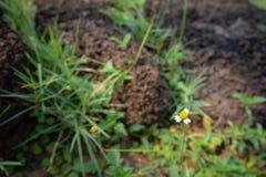 Blume des weißen Gänseblümchens auf unscharfem Gras und Stein mit Sonnenlichthintergrund lizenzfreies stockfoto