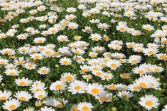Blume des weißen Gänseblümchens in der Wiese Lizenzfreies Stockbild