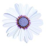 Blume des weißen Gänseblümchens des Vektors Lizenzfreies Stockbild