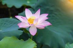 Blume des weißen Lotos Stockbild