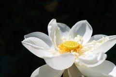 Blume des weißen Lotos Lizenzfreie Stockbilder