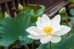 Blume des weißen Lotos Stockfoto