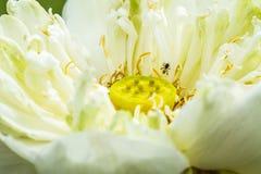 Blume des weißen Lotos auf Teich Stockbild