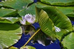 Blume des weißen Lotos, die im Punkt Pelee See, Ontario blüht lizenzfreie stockfotografie