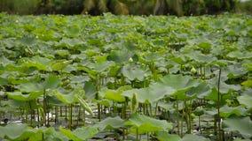 Blume des weißen Lotos im Teich stock video footage