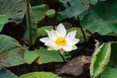 Blume des weißen Lotos mit dem gelben Blütenstaub Es ist wie eine Biene lizenzfreie stockfotos