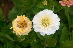 Blume des weißen Zinnia auf Baum im Garten Lizenzfreie Stockfotos