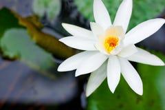 Blume des weißen Lotos in Asien Lizenzfreies Stockbild