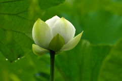 Blume des weißen Lotos der Blüte Stockfoto