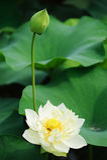 Blume des weißen Lotos mit der Knospe Stockfotos