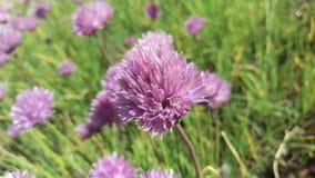 Blume des wilden Knoblauchs lizenzfreie stockbilder