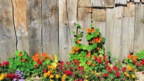 Blume, die eine hölzerne Wand klettert stockfotos