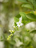 Blume Duranta im Garten (Duranta-repens L, Duranta-erecta L) Lizenzfreie Stockbilder