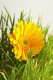 Blume in einem Grasgrün. Lizenzfreies Stockfoto