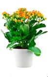 Blume in einem Potenziometer Lizenzfreie Stockbilder