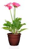 Blume in einem Potenziometer Stockbilder