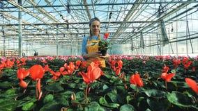 Blume in einem Treibhaus erhält durch eine Dame gesprüht stock video