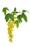 Blume einer gelben Akazie Stockbilder