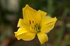 Blume einer gelben Lilie Lizenzfreie Stockfotografie