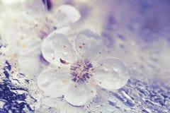 Blume einer Kirsche, Aprikosenbaumnahaufnahme Stockbilder
