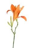 Blume einer Lilie Lizenzfreies Stockbild